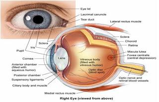 नेत्र की कार्य विधि | संरचना चित्र | लेंस | आँख की क्रियाविधि | देखने की प्रतिक्रिया